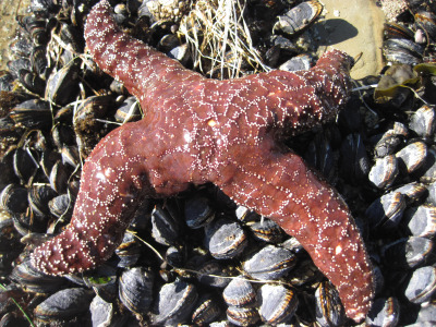 The wasting disease affecting sea stars causes some, like this ochre star in Santa Cruz, to lose their legs. (Nate Fletcher/ UC Santa Cruz)