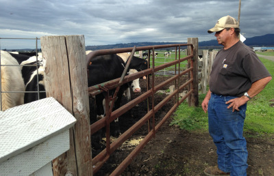 Dairy farmer John Vovoda checks in on his cows. He's opposed to Measure P. (April Dembosky/KQED)