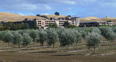 Olive trees belonging to the Yocha Dehe Wintun Nation, with their Cache Creek Casino in background. (Lisa Morehouse/KQED)