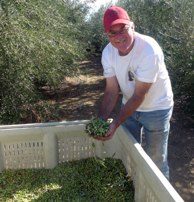 Mike Mitchell of Big Red Farms holds freshly harvested olives. (Lisa Morehouse/KQED)