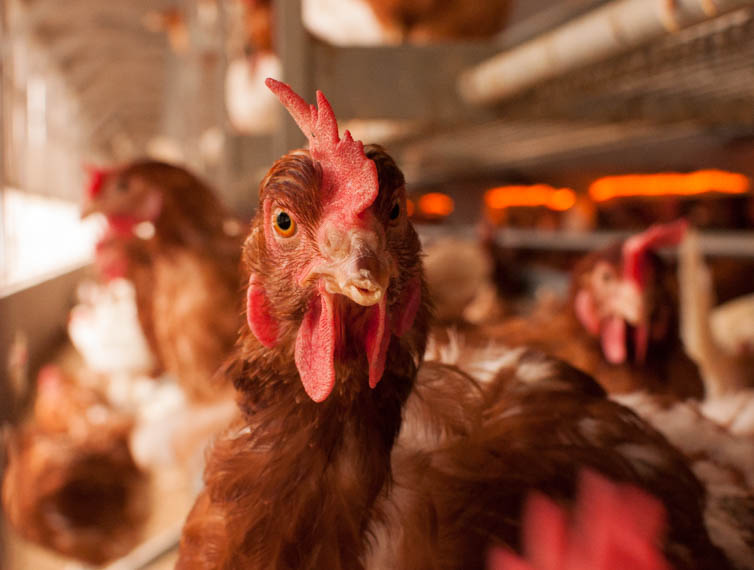 Who's Watching the Henhouse to Enforce California's New Egg Law?
