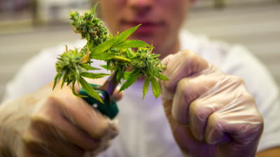 Trimmers prepare the marijuana flower, or bud, to make it more appealing to consumers. They use scissors to snip off the leaves and stems. (Brett Myers/Youth Radio)