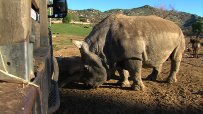Northern white rhino Nola lingers near a Safari Park truck, Jan. 16, 2015.