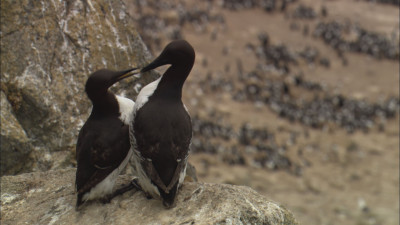 Common murres are abundant along the California coast and are still recovering from historic egg collecting, fisheries bycatch and oil spill mortality. (Courtesy of Bob Talbot)