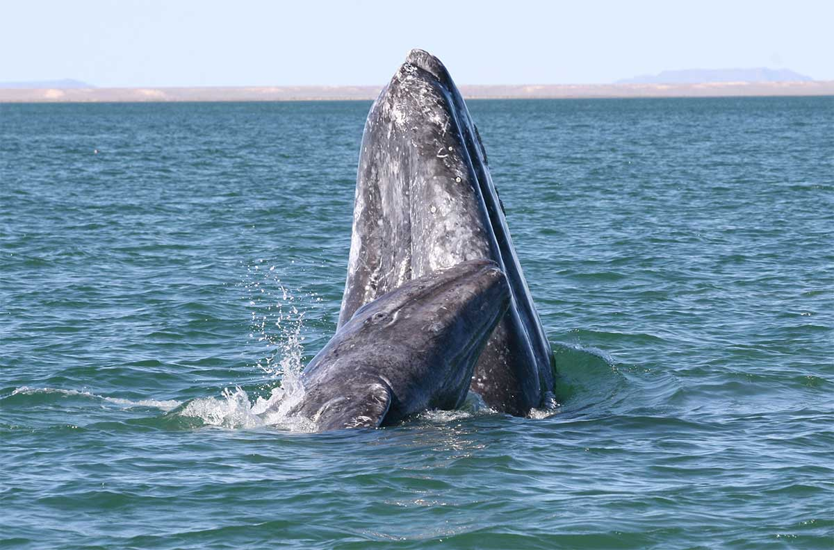 Gray whales migrate south and north along the coast and prime viewing locations during migration season include Point Arena and Bodega Head. (NOAA)