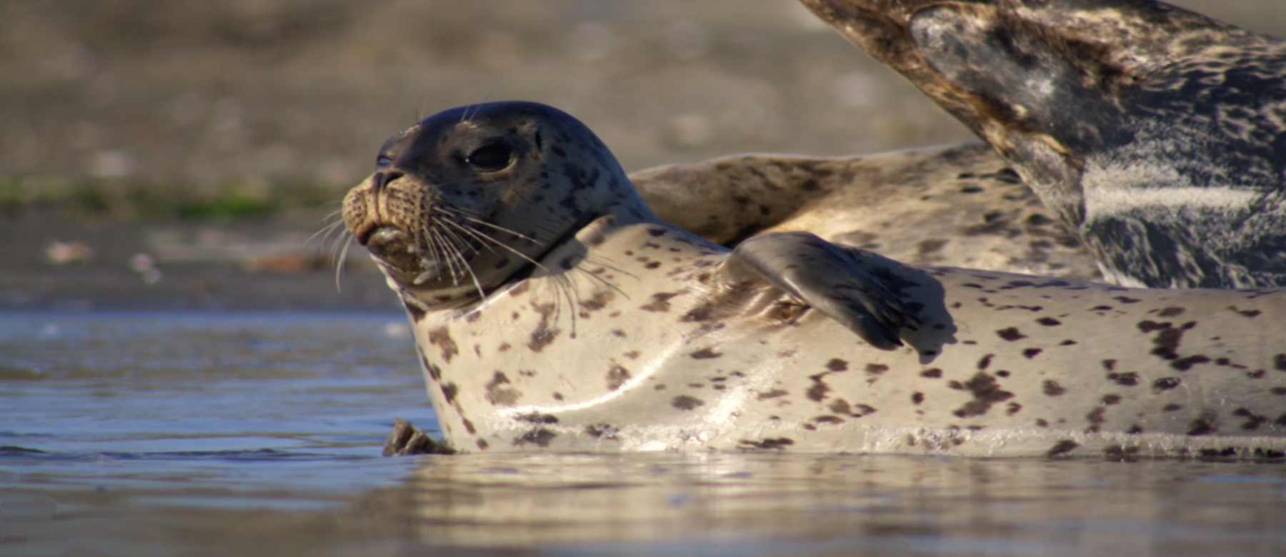 A harbor seal along the shores of the expansion area of Gulf of the Farallones National Marine Sanctuary. (Bob Talbot)