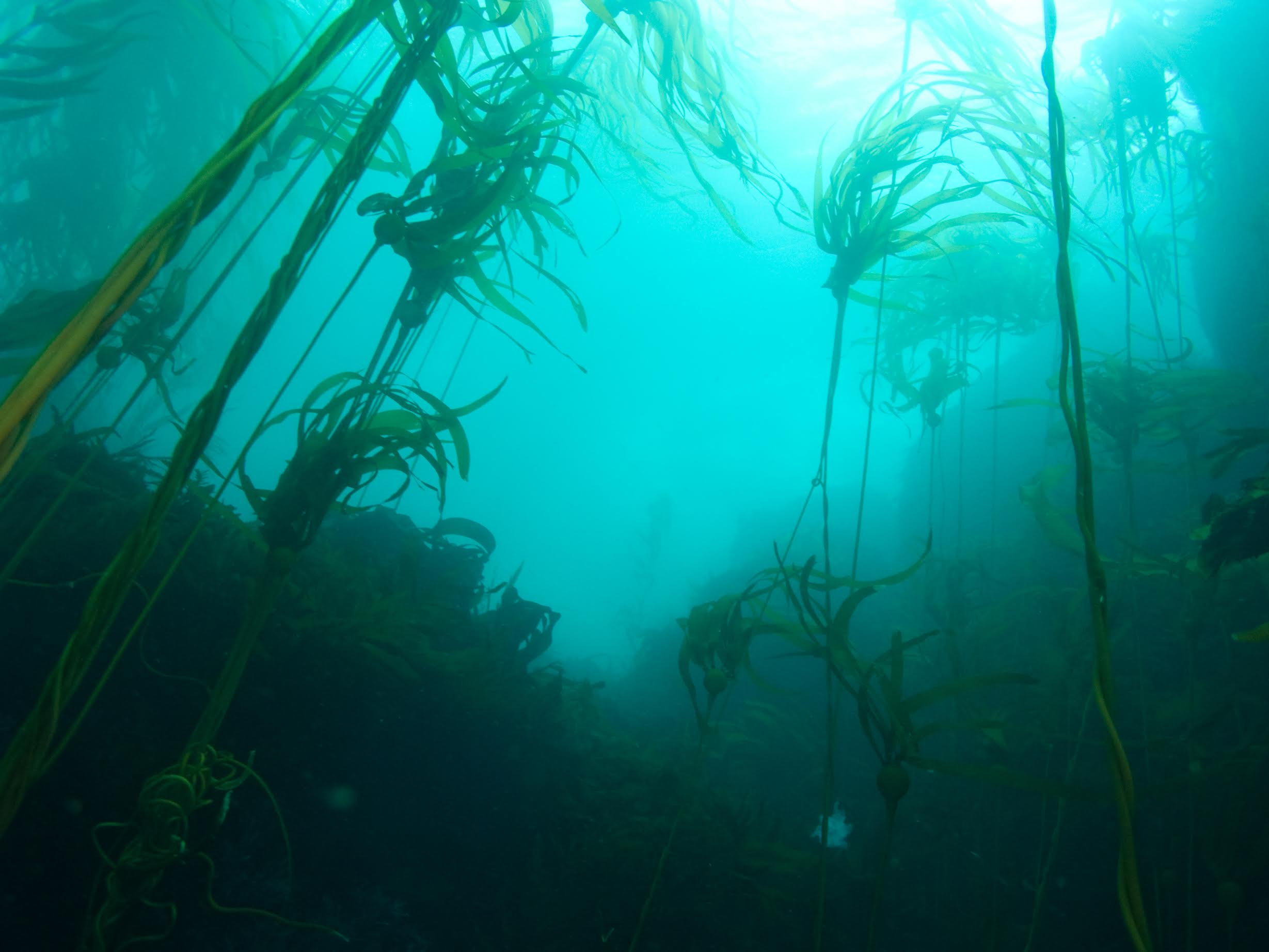 Bull kelp forests provide numerous habitats for nearshore fish and invertebrate species in the Gulf of the Farallones National Marine Sanctuary. (Jared Figurski, UCSC)