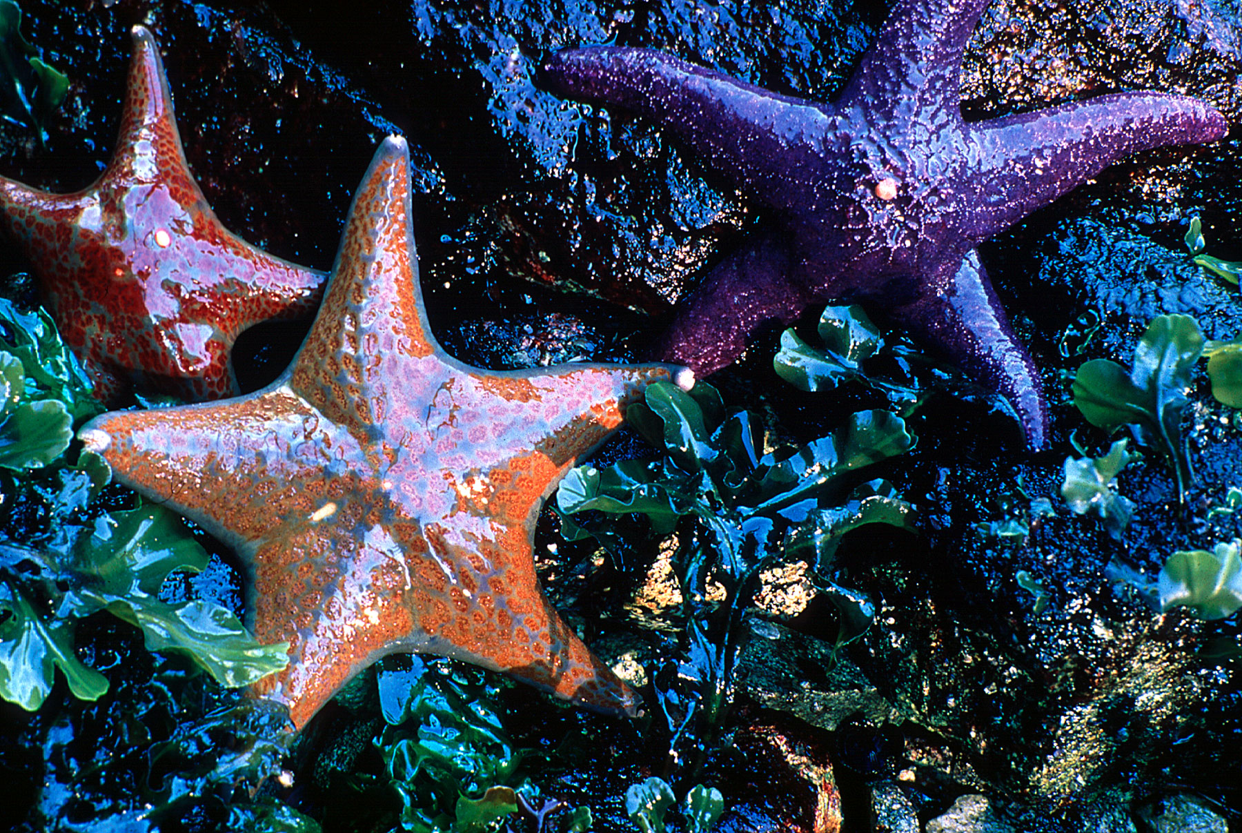 When the tide is out, the rocky shores of Gulf of the Farallones National Marine Sanctuary reveal hundreds of invertebrates, like these sea stars. (Courtesy of Joe Heath)