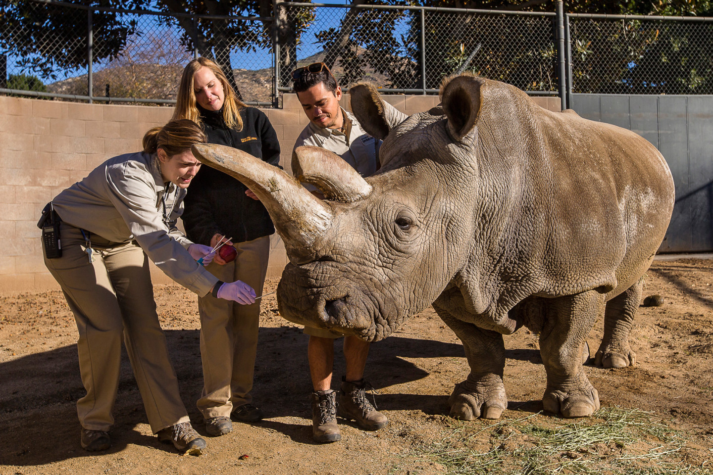 Veterinarians are shown examining a northern white rhino at the San Diego Zoo Safari Park. Courtesy San Diego Zoo
