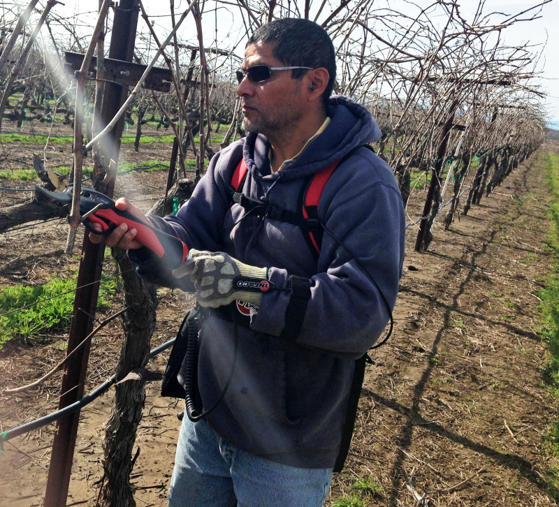 Brother Rafael prunes vines in the Abbey's St. James vineyard.