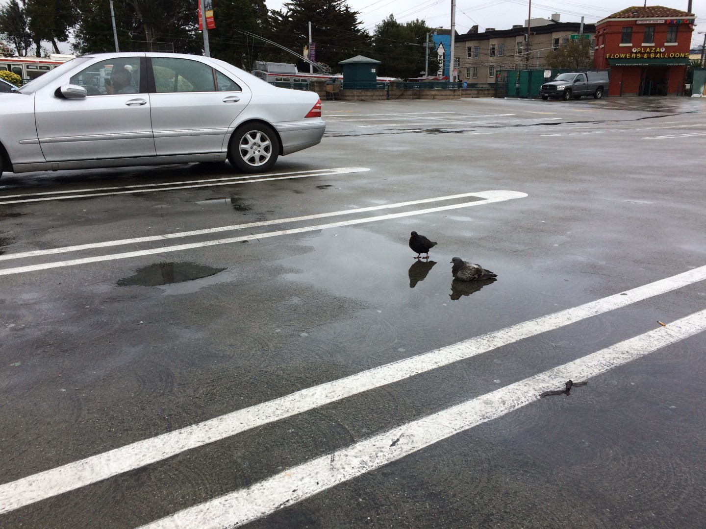 A pair of rock doves, aka San Francisco pigeons,  luxuriate in a parking lot puddle that appeared overnight in the Mission District.  Dan Brekke/KQED