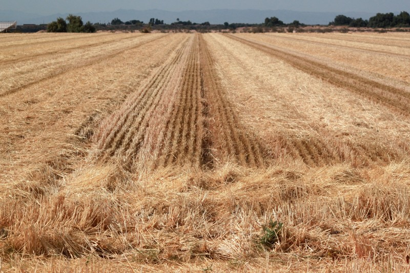 A recently harvested field in Imperial County. Wheat, alfalfa and other grasses used to feed cattle are among the region's top crops.