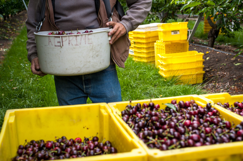 Though the drought has taken its toll, warm winters are to blame for a shrinking cherry crop. (Cynthia E. Wood/KQED)