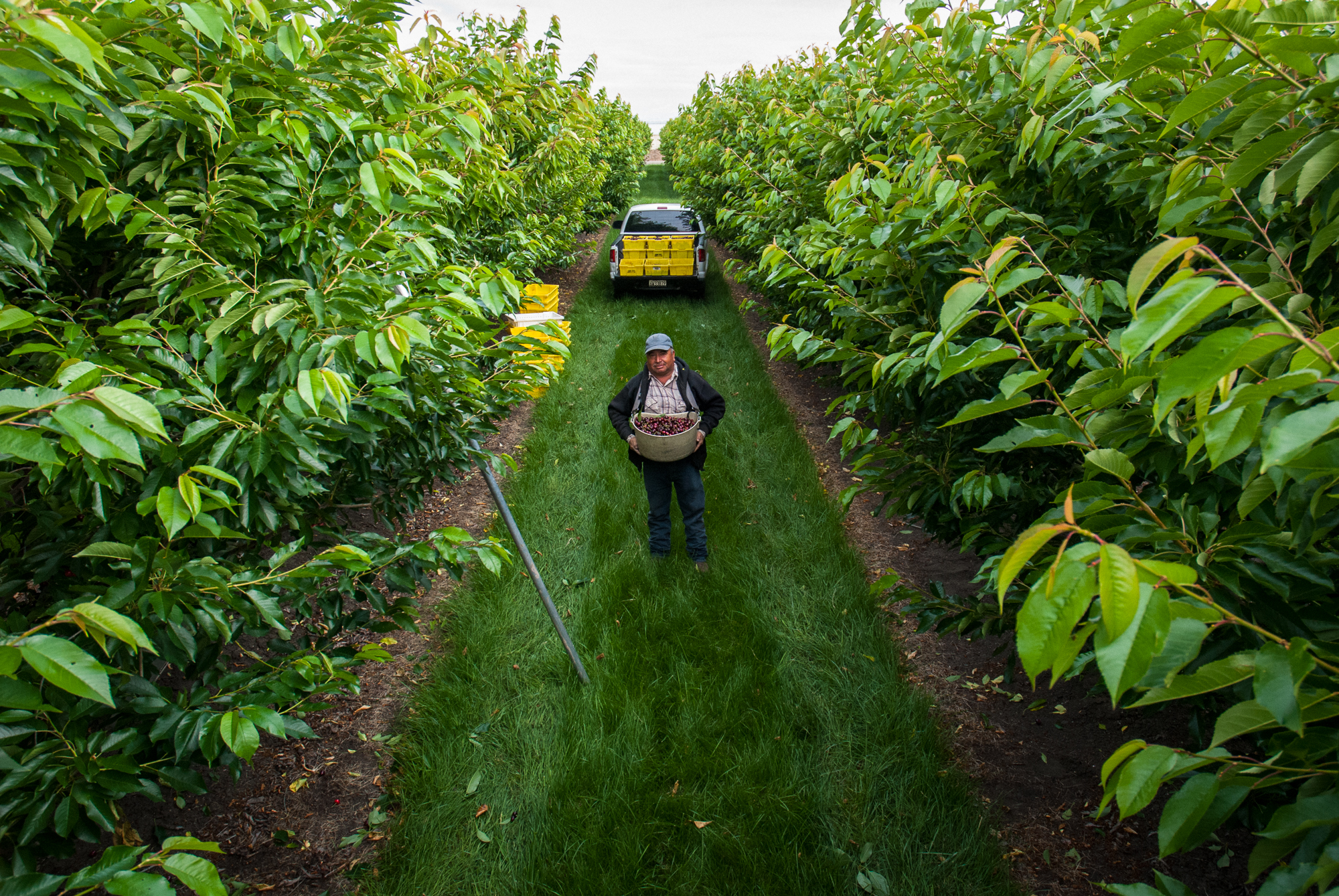 Farm worker, Juan Espinoza, stands amid the rows of healthy cherry trees in Gilroy, Calif.