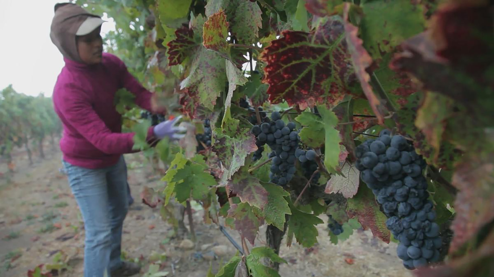 A female farmworker harvests grapes.