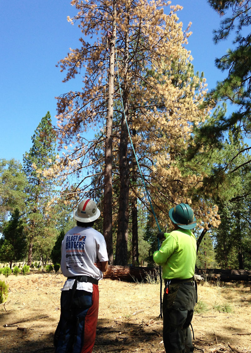 Hudson Fisk's team of loggers takes down a dead Ponderosa pine tree.
