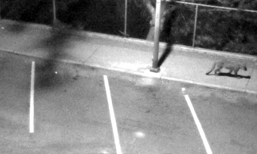 This mountain lion was photographed by a security camera in the Sea Cliff neighborhood of San Francisco on June 30.