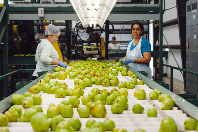 Workers sort pears at the Rivermaid Trading Company packing shed in Lodi.