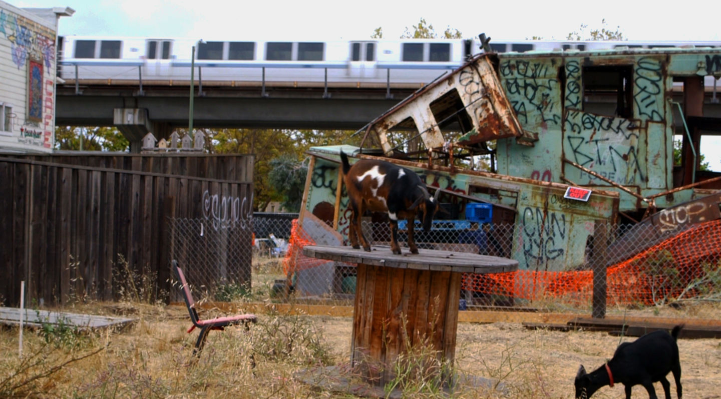 Goats mill around an empty lot just off of 7th Street in West Oakland. (Adam Grossberg/KQED)