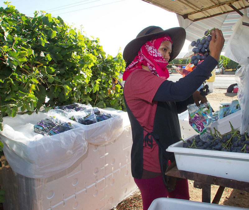 Under a shade from the hot August sun, Josefina Zarate packs grapes in a vineyard southeast of Delano. Grapes are still a top commodity in Kern County.