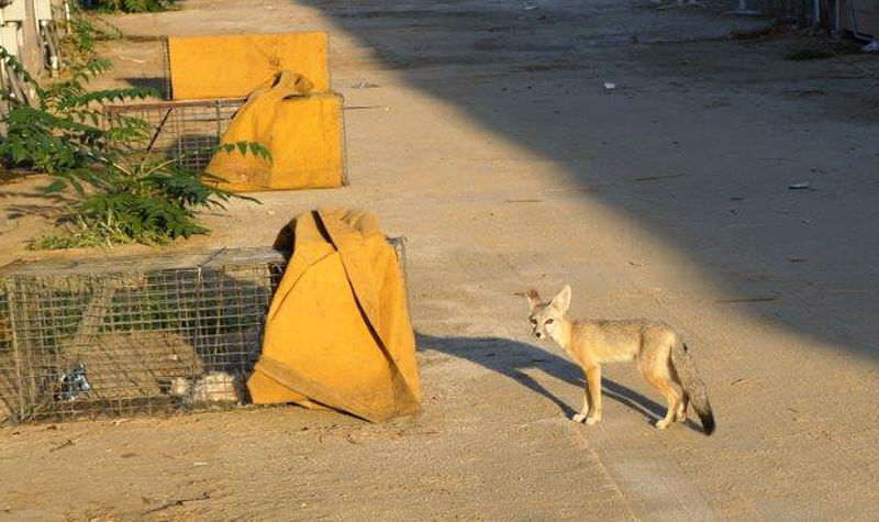 A kit fox sniffs a trap after being released. She was treated on-site with a topical insecticide for mange.