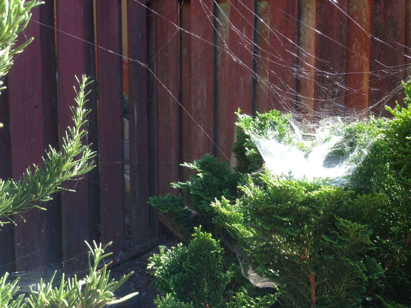 Hot weather means lots of industrious spiders, producing cobwebs like the ones in this Berkeley yard on Sept. 9, 2015.