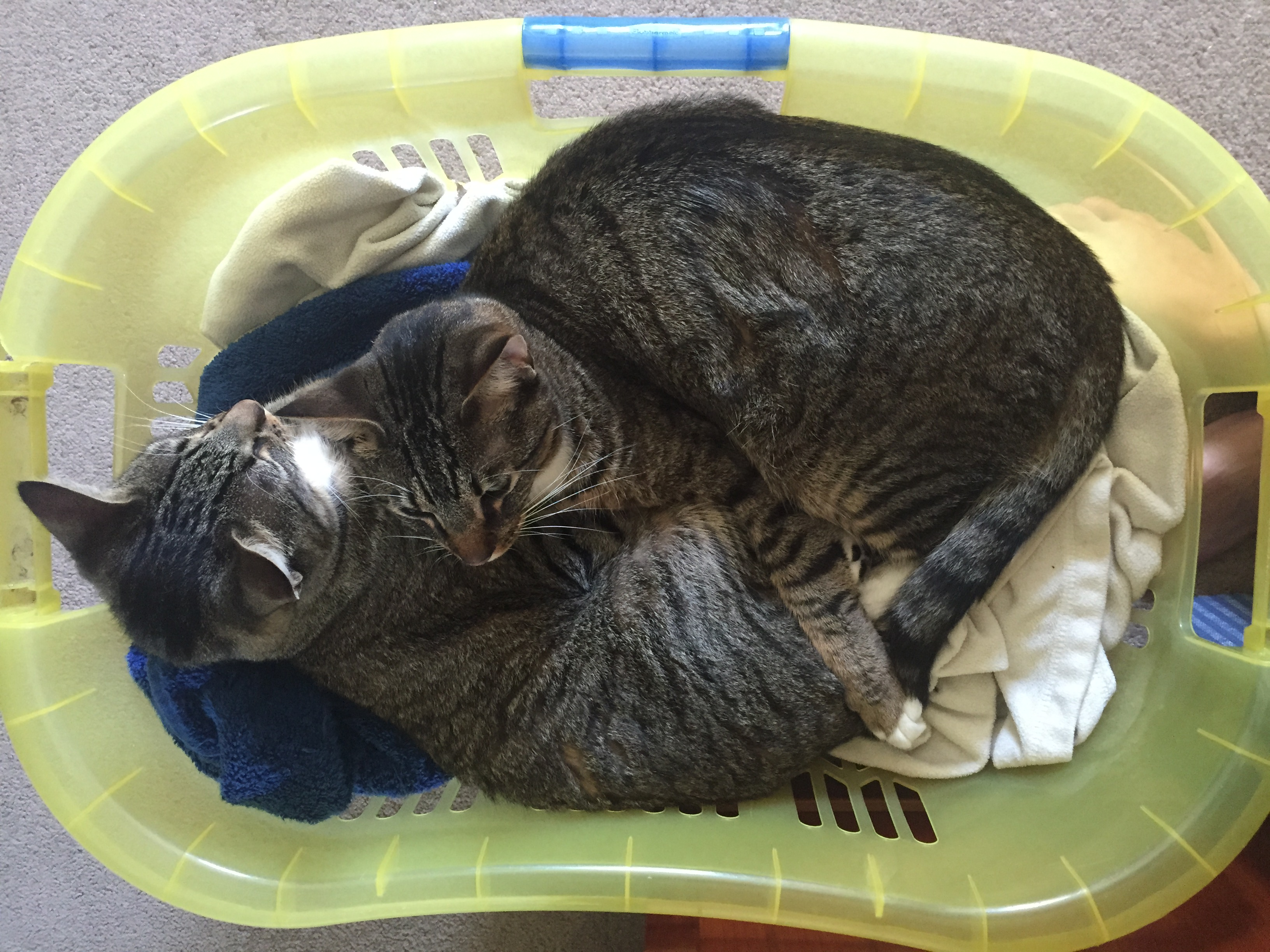 """Odo and Kira """"help"""" interactive producer Lisa Pickoff-White with laundry."""