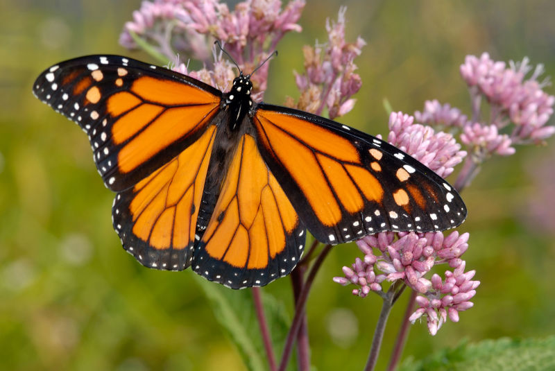 A monarch butterfly lands on a kind of milkweed native to California.