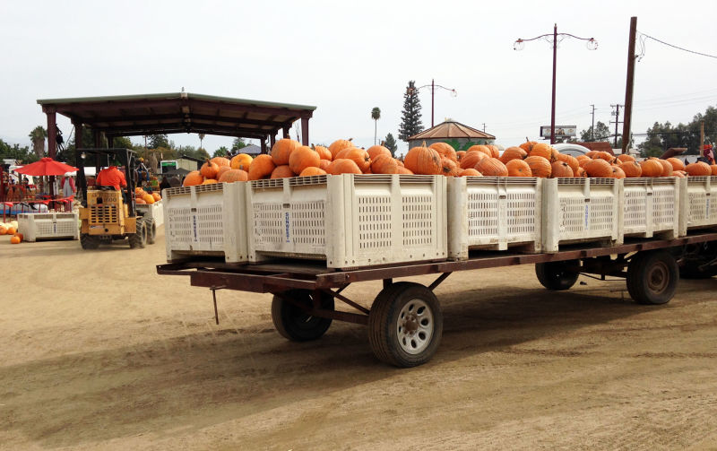 Alan Changala's Pumpkin Patch and Ranch in Porterville had a bumper crop this year. His 175,000 pumpkins are enough to sell to needy pumpkin patches in Southern California.