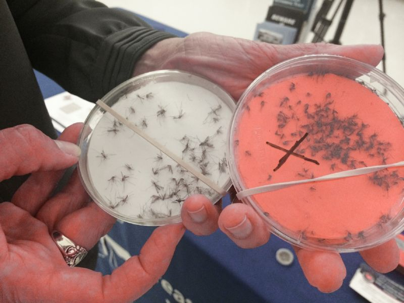 The petri dish on the right holds samples of the Asian Tiger mosquito.