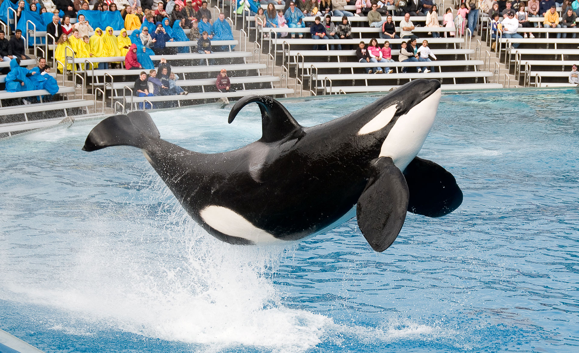 An orca performs at SeaWorld in San Diego.