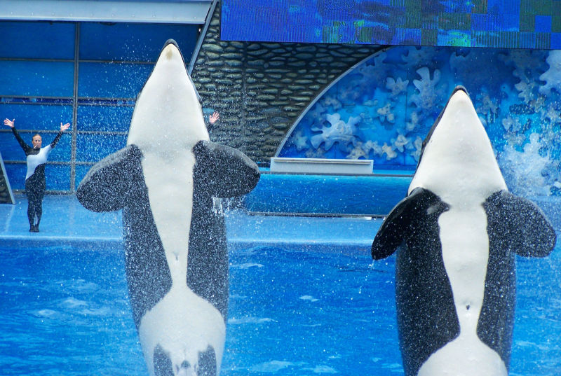 Orcas perform at SeaWorld.