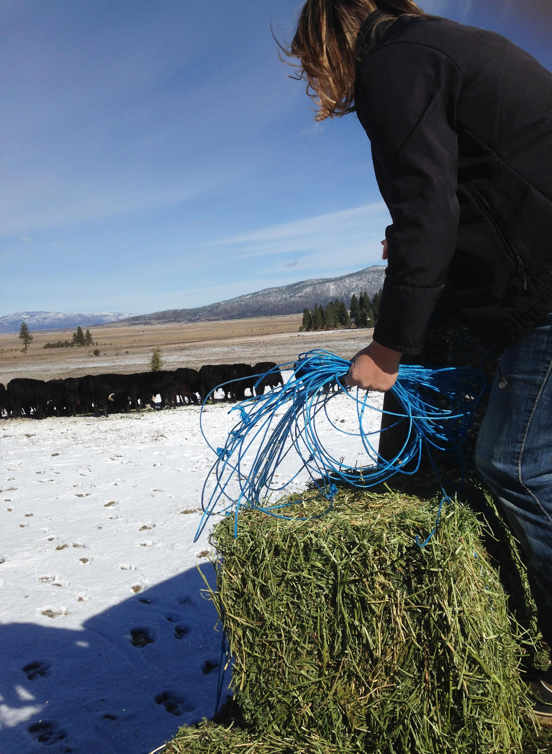 Annie Tipton feeds hay to her family's cattle from the back of a pick-up.