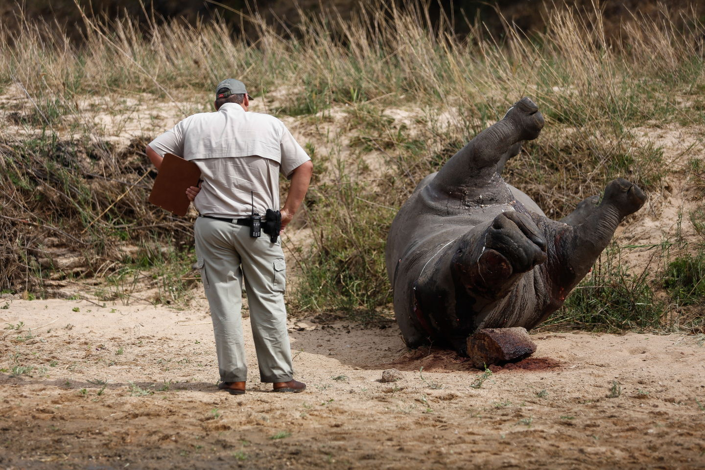 Crime scene investigator examines a poached rhino carcass in September 2014 in the Kruger National Park, South Africa.