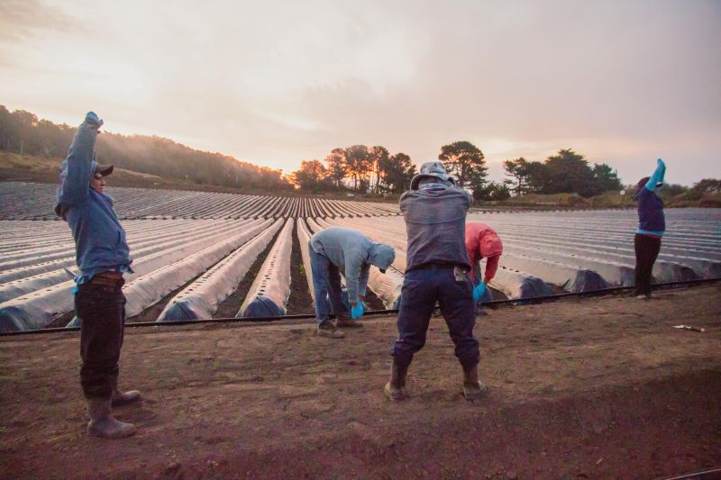 Farmworkers at Swanton Berry Farm warm up by doing stretching and calesthenics each morning, to prevent injury while stooping and bending in the fields.