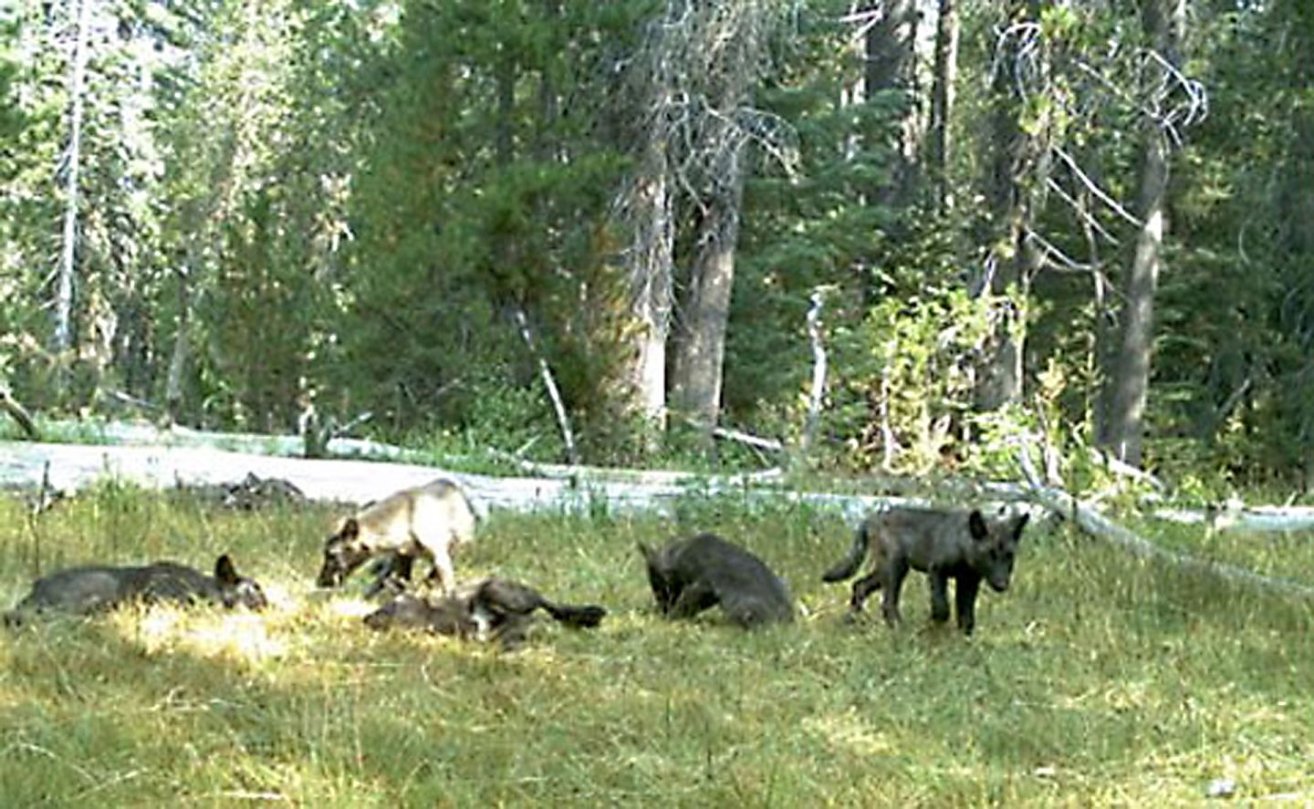 Gray Wolves May Lose Protections Once There Are 50 in California