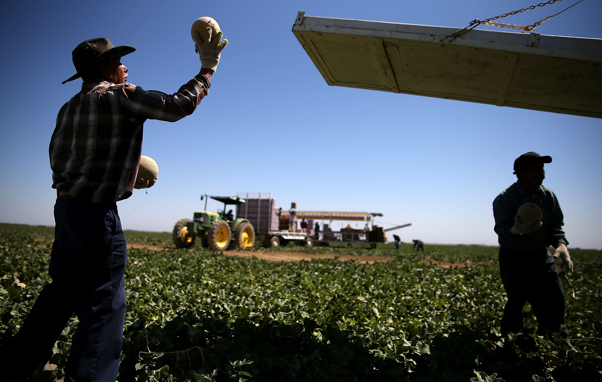 A worker harvests cantaloupes on a farm on August 22, 2014 near the Central Valley town of Firebaugh.