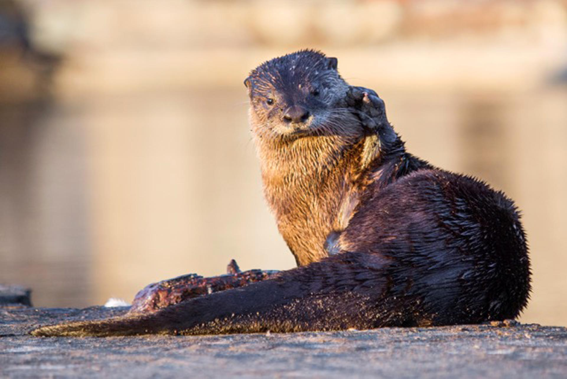 Sutro Sam, San Francisco's famous river otter, hung around Land's End for months in 2012 before disappearing again. Sam is the only river otter to be seen in San Francisco in recent memory.