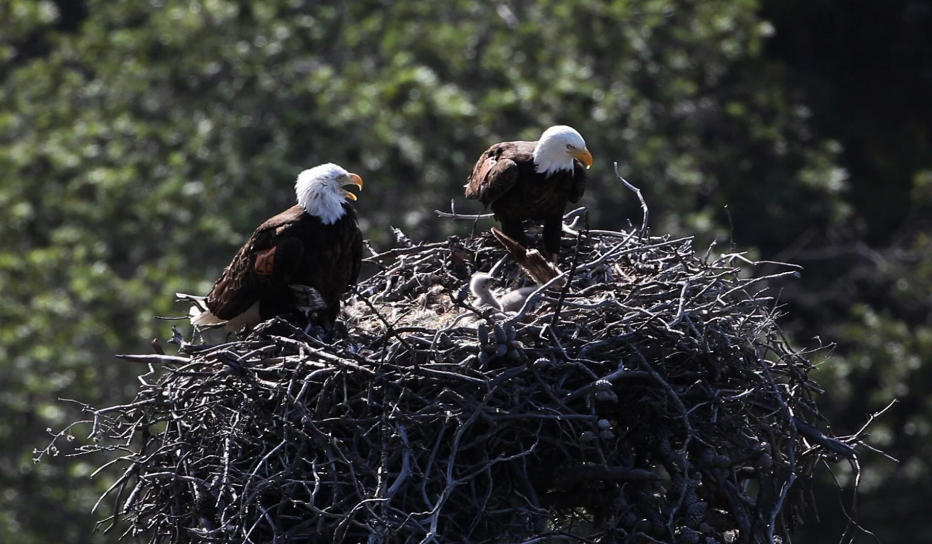A breeding pair of bald eagles atop their nest in Channel Islands National Park.