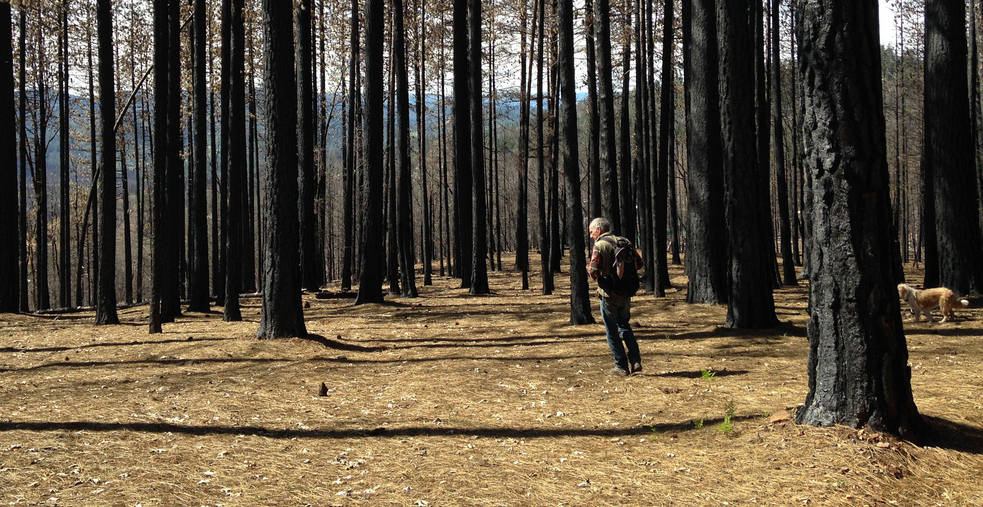 Kevin Sadlier hunts for morels in the Lake County forest burned by the Valley Fire.