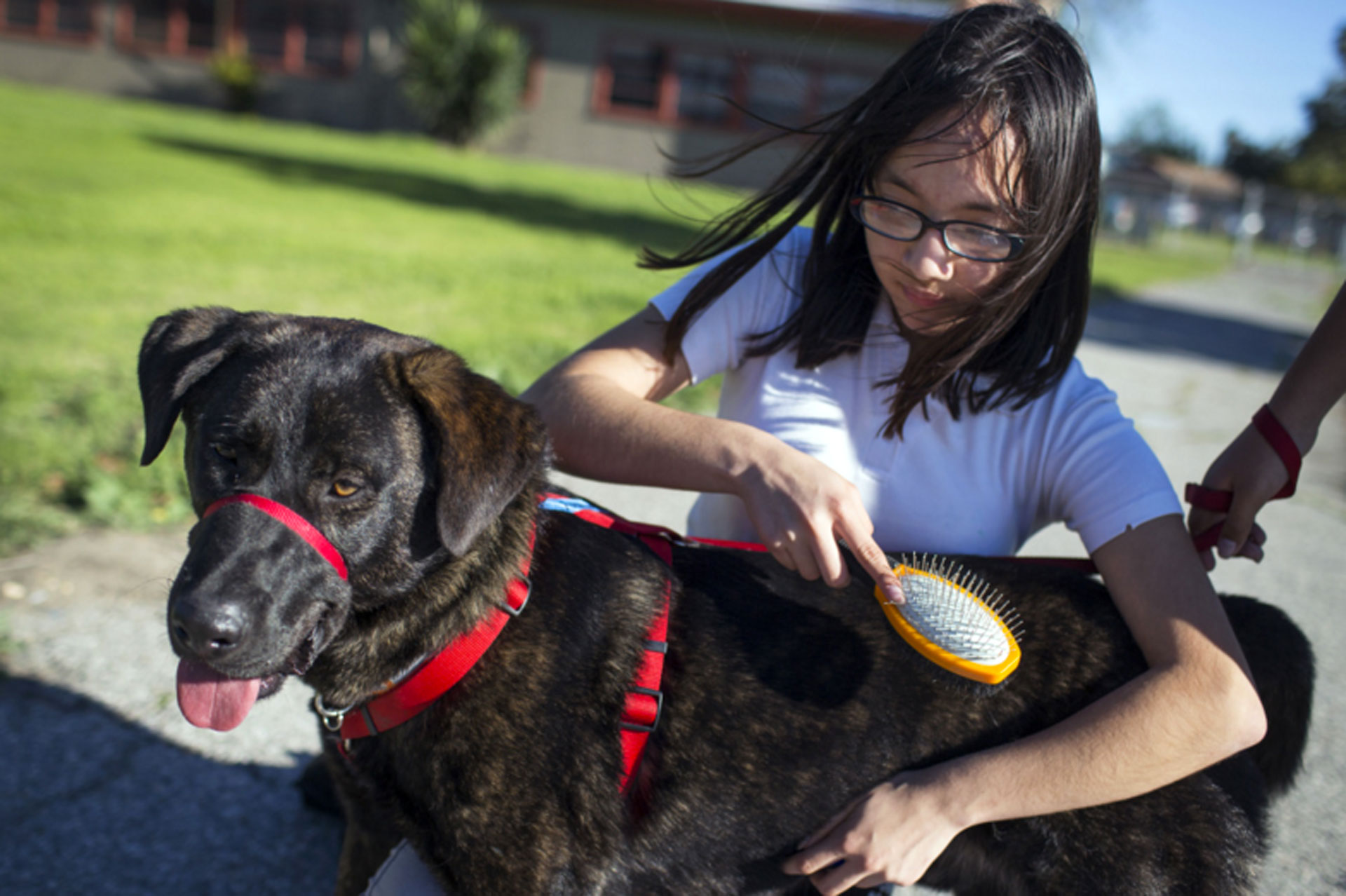 "Seventh grader Xochilt Nuñez brushes Rockwell during spcaLA's humane education after-school program at Bunche Middle School in Compton on March 8, 2016. Students are paired with canines as part of an after school program called ""Teaching Love and Compassion."""