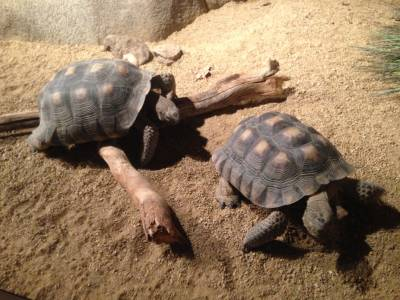 two desert tortoises, on loan to the Monterey Bay Aquarium from the San Diego Zoo, are about 11 years old. They grow slowly and can live up to 80 years in the wild.
