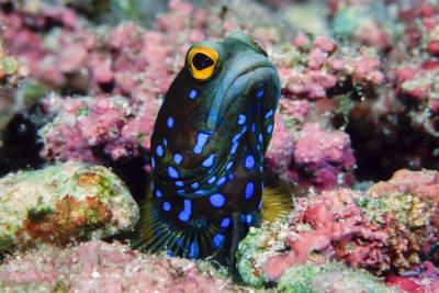 The bluespotted jawfish seems perpetually restless. It is continually digging, building and remodeling its den, relying on its mouth to shovel and arrange sand and pieces of coral.