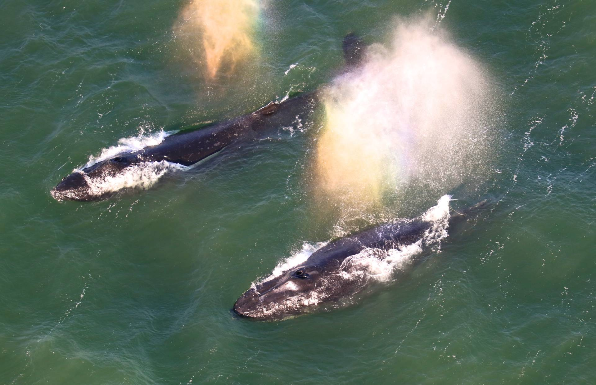 Two humpbacks whales sighted inside the bay on May 15.