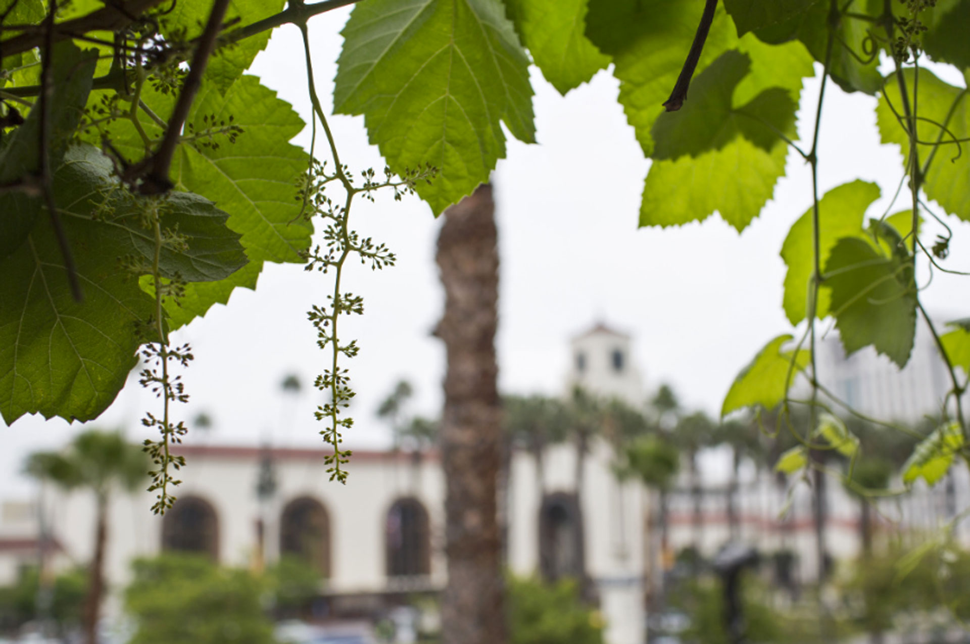 The oldest grape vines in California, which may be more than 150 years old, are located at the Avila Adobe on Olvera Street near Union Station. City Archivist Mike Holland has made wine from the grapes.