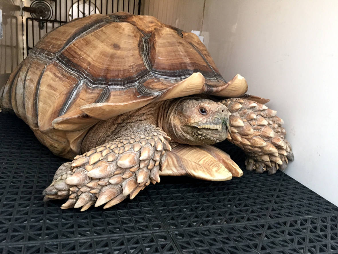 Tortoise's Slow and Steady Pace Outruns L.A. Fire