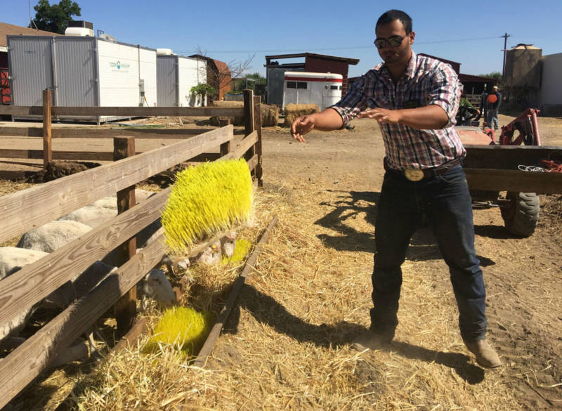 Usually Jose Quiñonez feeds the sheep a blend of oats, hay and sprouts. But today he's feeding sprouts alone.
