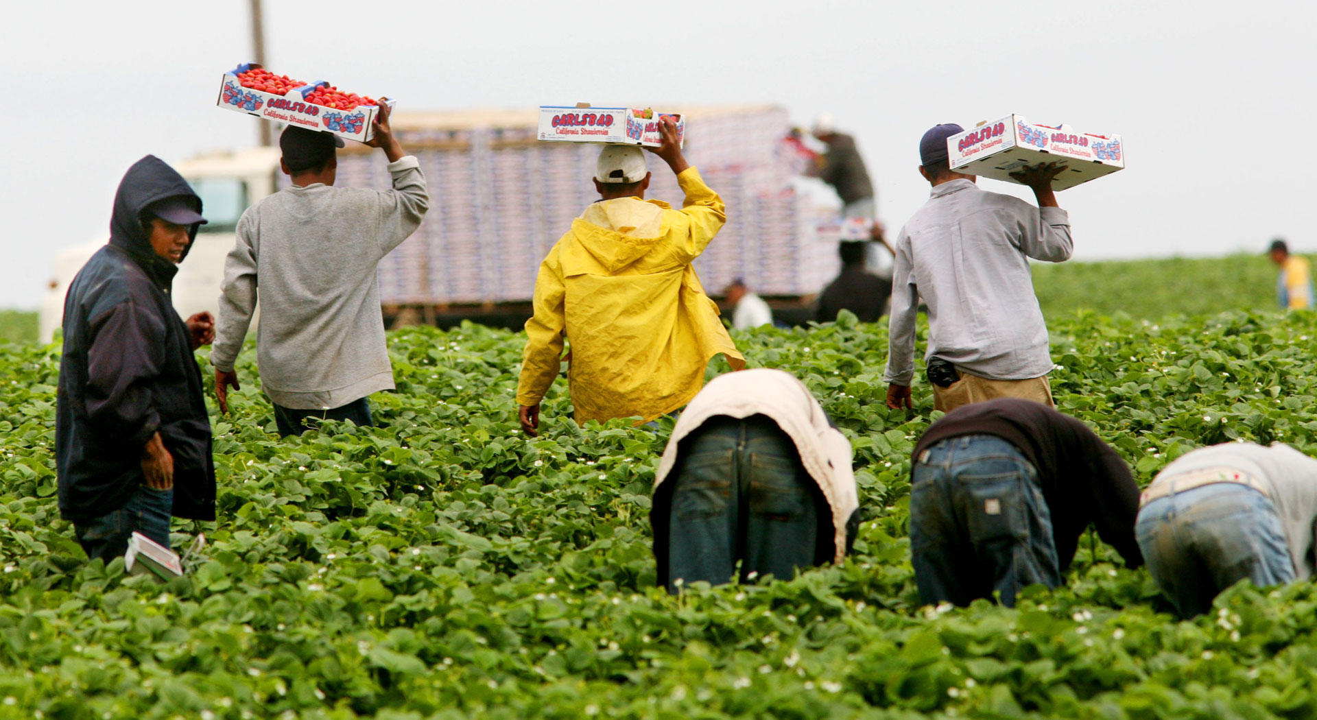 Farmworkers harvest strawberries in Carlsbad.