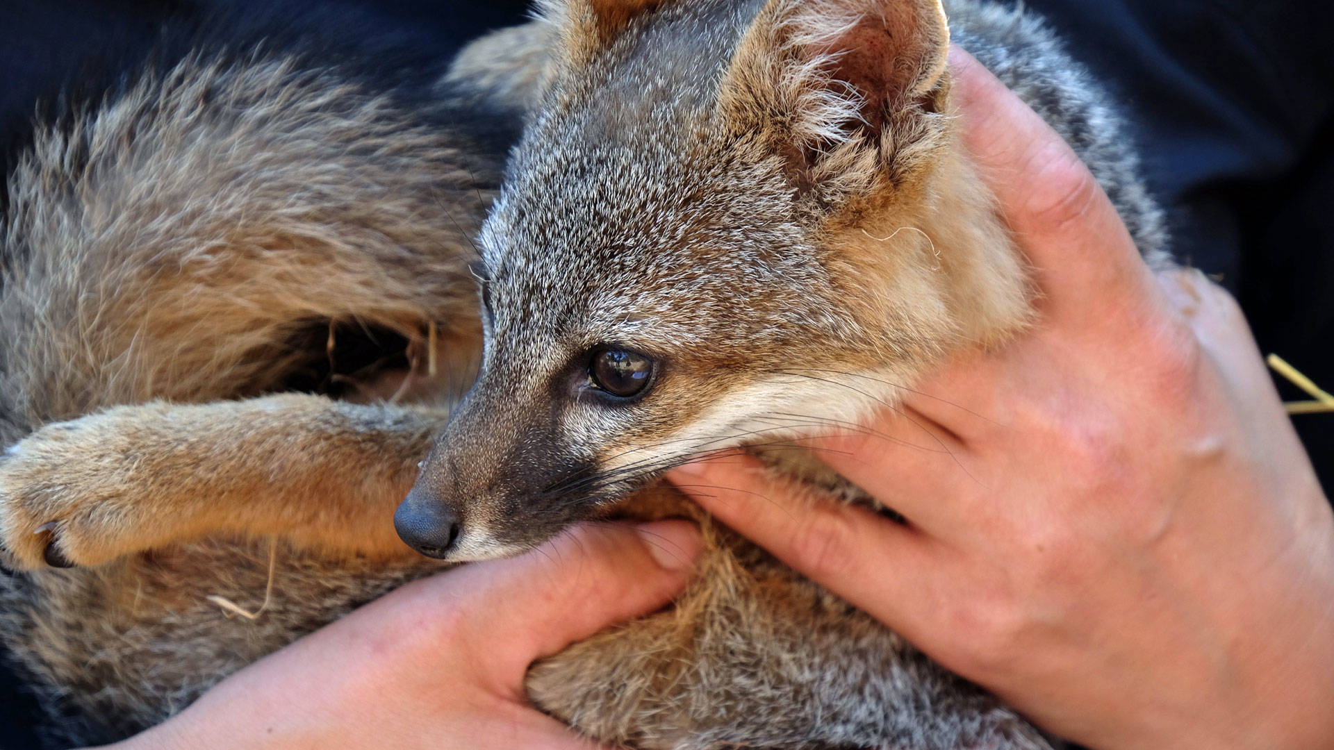 Channel Islands foxes have make the fastest recovery of any mammal on the Endangered Species List.
