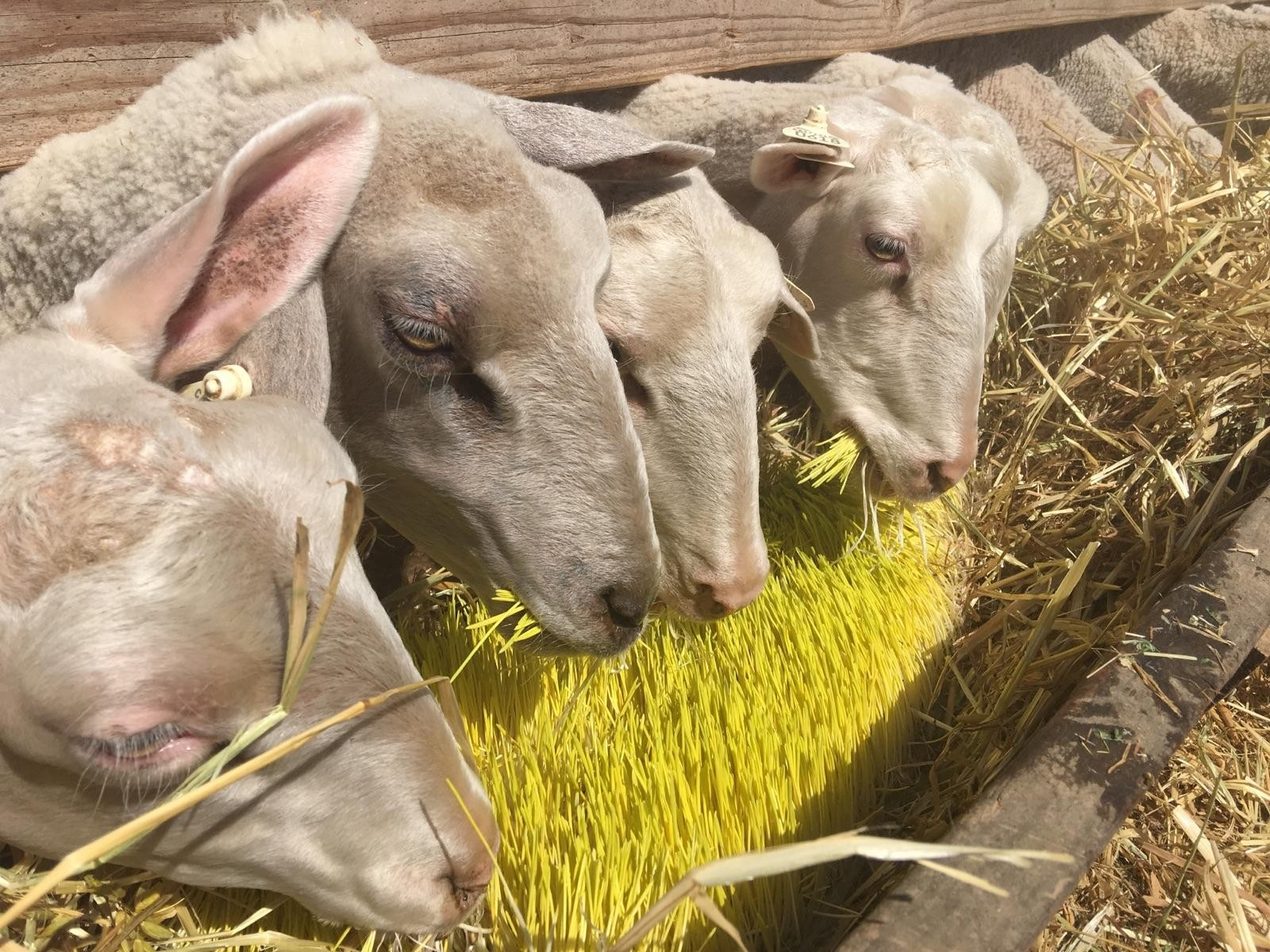Mario Daccarett says the sprouted barley seeds he grows inside shipping containers are sweet and keeps his sheep full for longer. Ezra David Romero/KQED